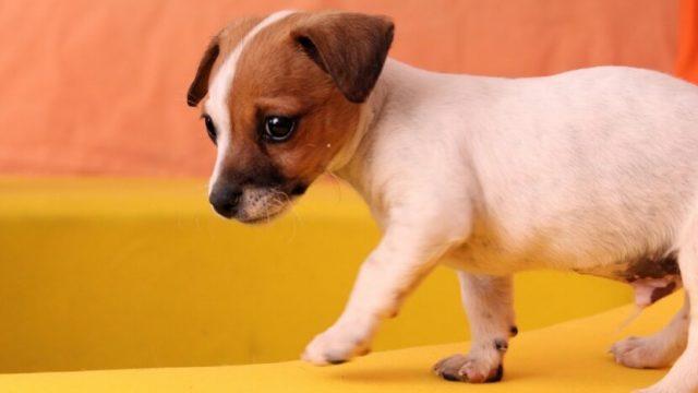 糸井重里さんの新たな愛犬・ブイコちゃん〜ブイヨンお姉さんになる